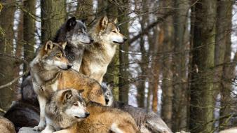 Trees animals wolves wallpaper