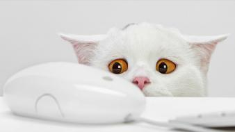 White cats animals wallpaper