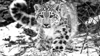 Animals grayscale snow leopards wallpaper