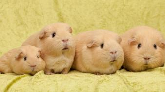 Animals guinea pigs rodents Wallpaper