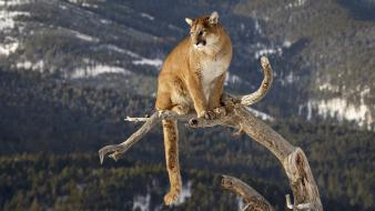 Animals mountain lions montana wallpaper