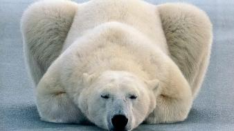 Animals polar bears wallpaper