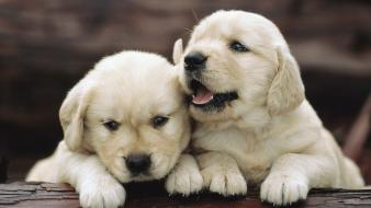 Animals puppies golden retriever wallpaper