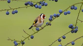 Berries goldfinch birds wallpaper
