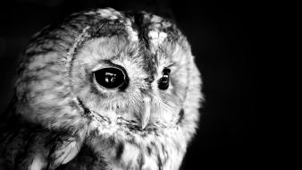 Birds grayscale owls black background wallpaper