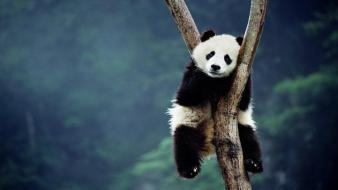 China animals panda bears bing wallpaper