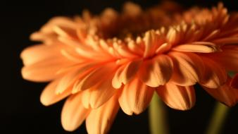 Flowers orange gerbera flower wallpaper