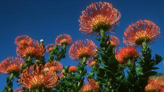 Flowers south africa wallpaper