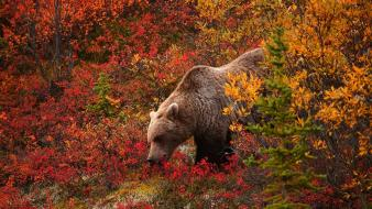 Grizzly bears wallpaper
