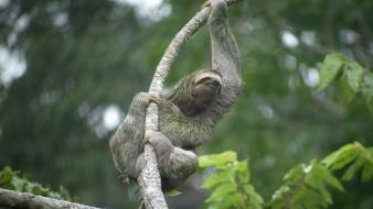 Jungle animals sloth branches wallpaper
