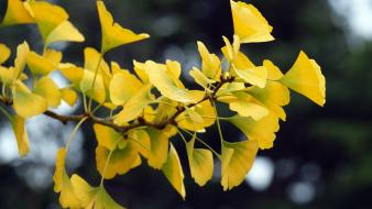 Landscapes nature yellow leaves ginkgo branch wallpaper