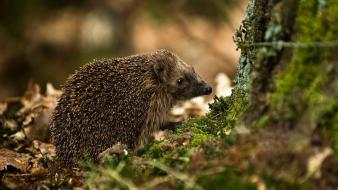 Nature animals hedgehogs wallpaper