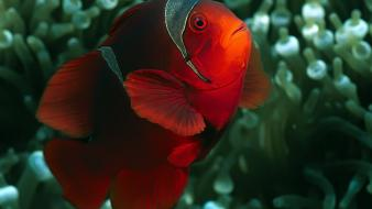 Nature fish clownfish underwater wallpaper