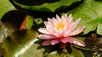 Nature lily pads water lilies wallpaper