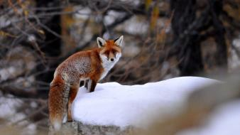 Nature winter forest animals foxes Wallpaper