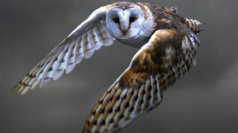 Owls birds barn owl wallpaper