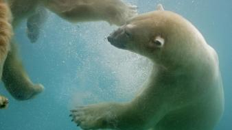 Water animals polar bears wallpaper
