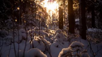 Winter snow trees forest cold the sun sunlight Wallpaper