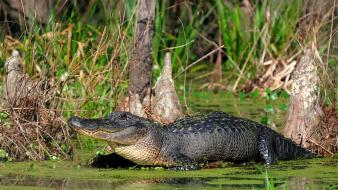 Animals alligators reptiles wallpaper