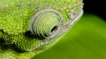 Animals chameleon wallpaper