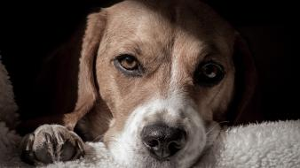Animals dogs beagle mammals furry wallpaper