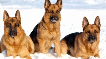 Animals dogs german shepherd wallpaper