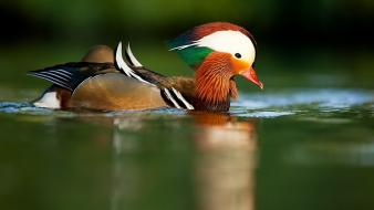 Animals ducks mandarin duck birds wallpaper