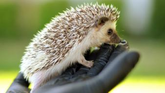 Animals hedgehogs wallpaper