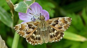 Animals insects moths purple flowers Wallpaper