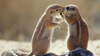 Animals squirrels south africa Wallpaper