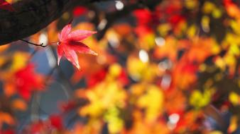 Autumn (season) leaves bokeh maple leaf wallpaper