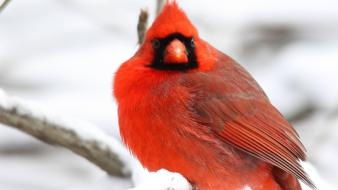 Birds animals cardinal northern wallpaper