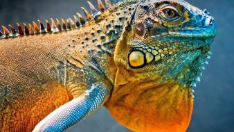 Close-up scales reptiles iguana wallpaper