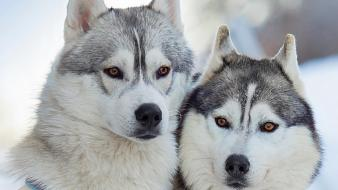 Eyes animals dogs husky adorable lovely wallpaper