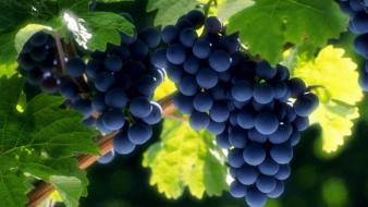 Fruits leaves grapes Wallpaper