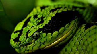 Green nature cobra animals snakes eyes scales wallpaper