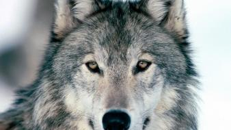 Nature animals wolves wallpaper