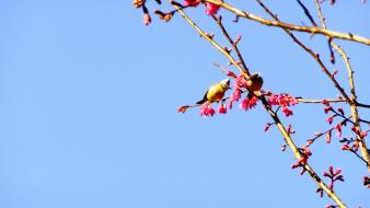 Nature cherry blossoms birds spring branches pink flowers Wallpaper