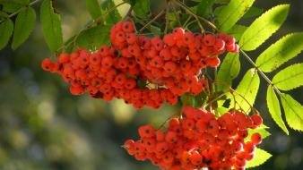 Rowan berries trees wallpaper