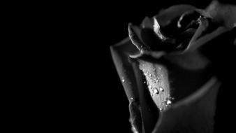 Tears roses wallpaper