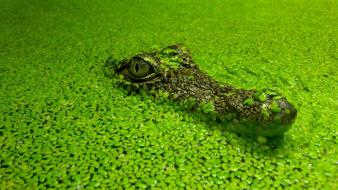 Water leaves crocodiles reptiles wallpaper