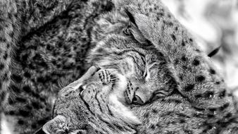 Animals lynx grayscale Wallpaper