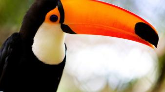 Birds animals toucans wallpaper