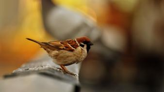 Birds sparrow depth of field blurred background wallpaper