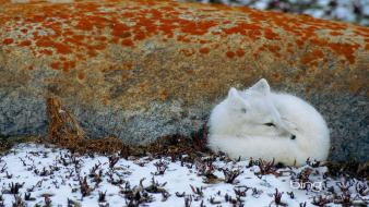 Ice snow animals foxes Wallpaper