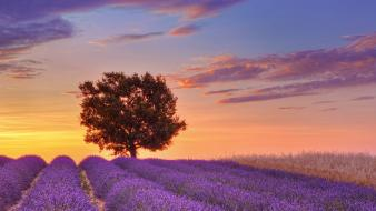 Landscapes nature france english lavender provence lone tree wallpaper