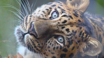 Nature animals leopards looking up wallpaper