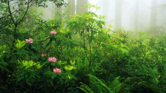 Nature flowers california panorama ferns redwood trees rhododendron Wallpaper