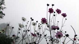 Nature flowers fog mist plants cosmos flower wallpaper