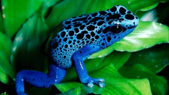 Nature frogs amphibians poison dart Wallpaper